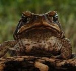 Synopsis_Toads